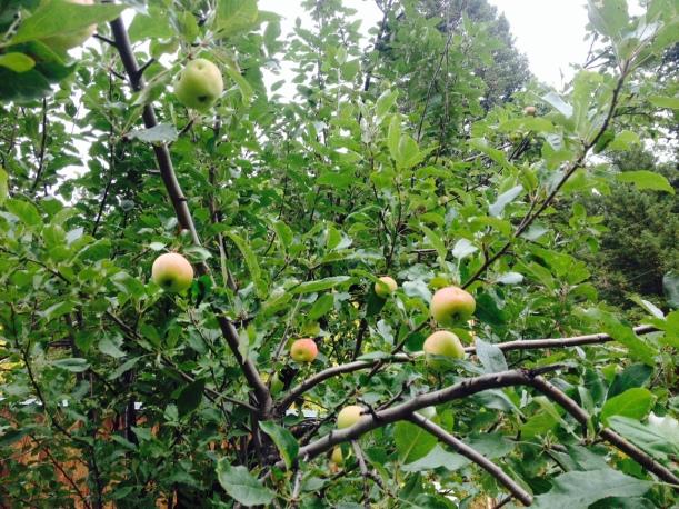 The Apple Tree in my yard