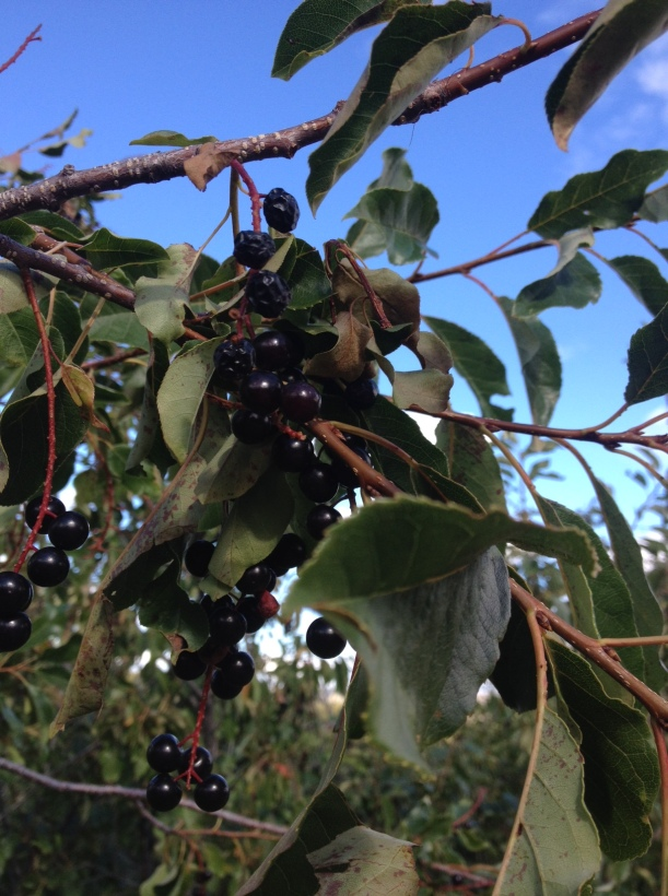 the great chokecherry attractant